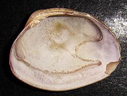 P. aurea. Фотография 24