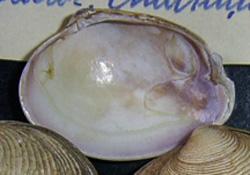 P. aurea. Фотография 16