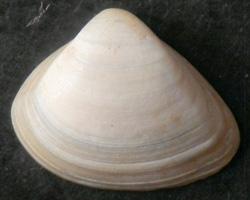 S. subtruncata. Фотография 4