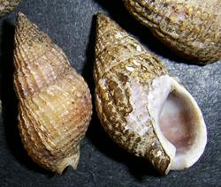 Моллюск мая среди морских моллюсков - Tritia reticulata (Linnaeus, 1758) (2018 г.)