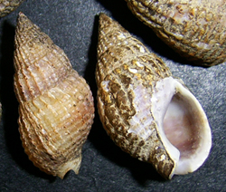 Молюск липня серед морських молюсків - Tritia reticulata (2018р.)