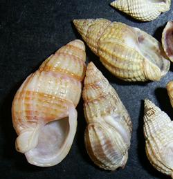 Молюск січня серед морських молюсків - Tritia reticulata (2017 р.)