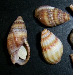 Моллюск января среди морских моллюсков - Tritia reticulata (2018 г.)