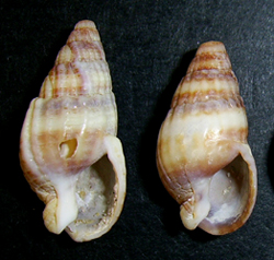 T. reticulata. Фотография 36