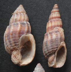 Молюск грудня серед морських молюсків - Tritia reticulata (2017р.)
