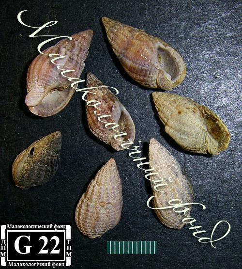 Tritia reticulata. Фотография 27