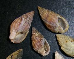 Моллюск августа среди морских моллюсков - Tritia reticulata (Linnaeus, 1758) (2018 г.)