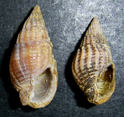 Молюск червня серед морських молюсків - Tritia reticulata (2018р.)