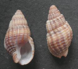 Tritia reticulata (Linnaeus, 1758)