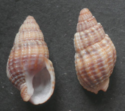 T. reticulata. Фотография 26