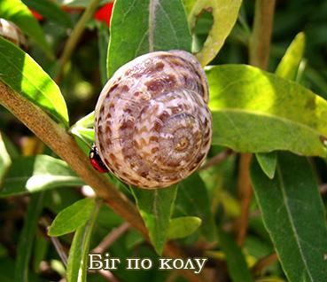 Eobania vermiculata